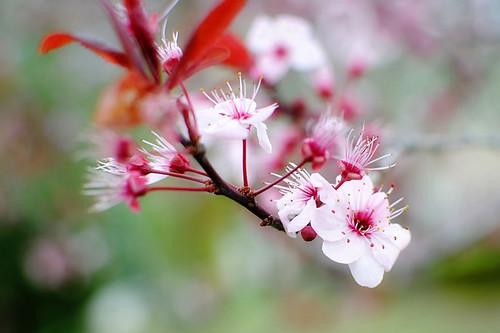 Flowering Plum 8 x 12