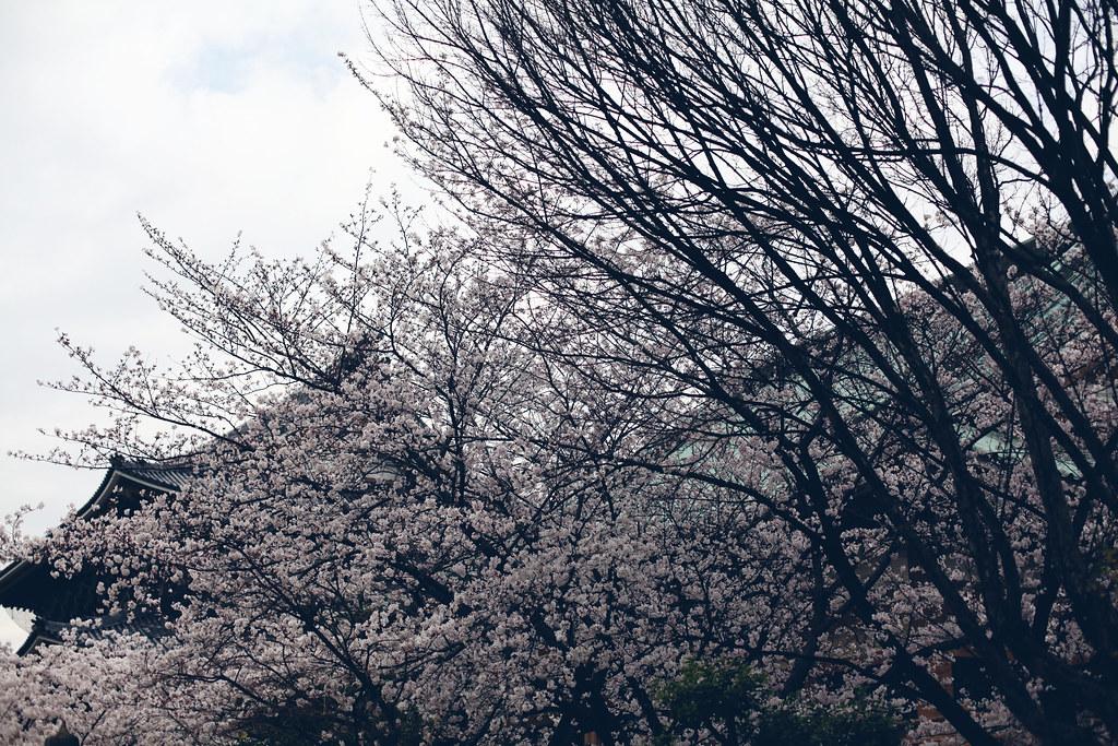 sakura_6848