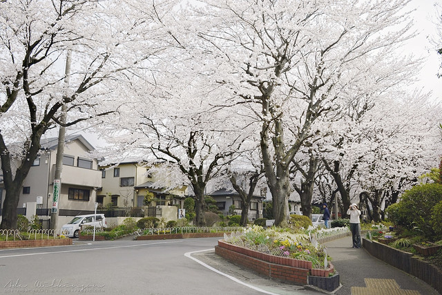 Cherry Blossoms in our neighborhood