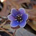 Spring Ephemerals -- Hepatica by Odonata457