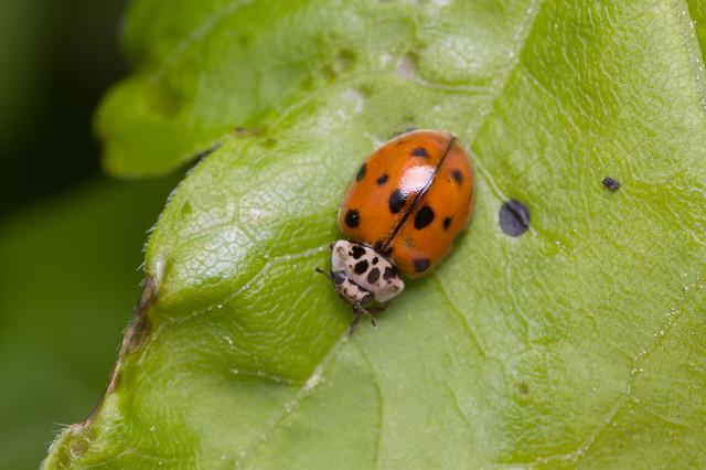 170: 10 spot Ladybird