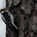 Downy Woodpecker by thoeflich
