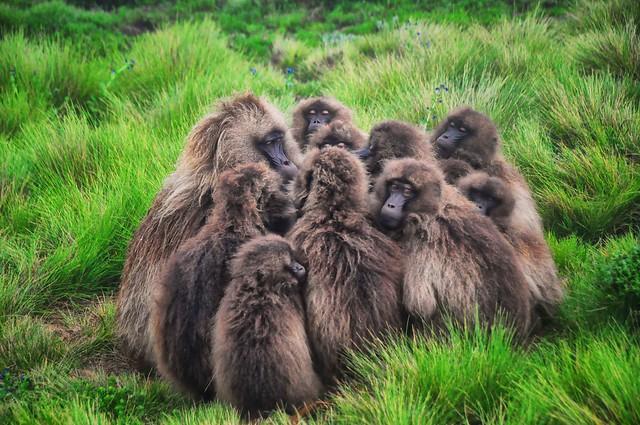 Geladas en las Montañas Simien, macizo de Abisinia, Etiopía.