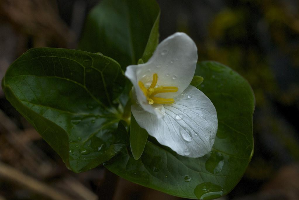 Western White trillium, Pacific Trillium