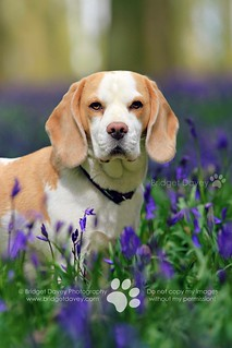 Lucy Beagle at Bluebell Woods | Hertfordshire, England