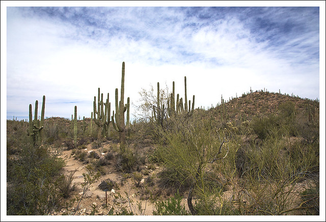 Saguaro National Park West 4