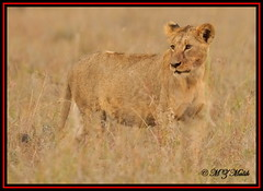 YOUNG LION CUB (Panthera leo)....NAIROBI NAT.PARK.....OCT 2013