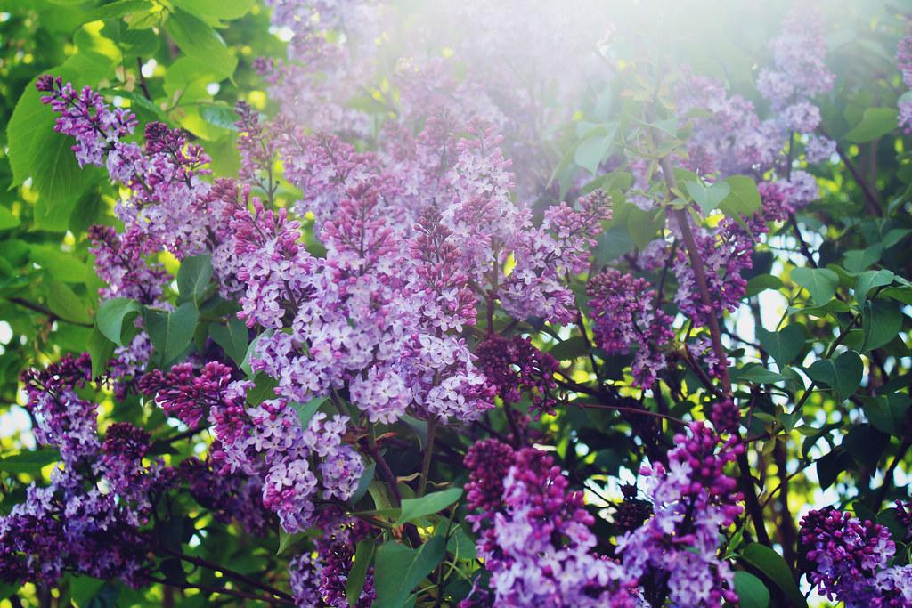 lilacs-in-spring