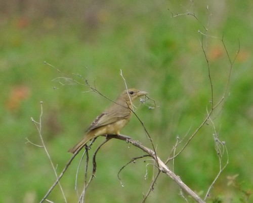 Summer Tanager (Female with nesting material)