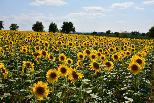 A fleur des champs de Tournesol