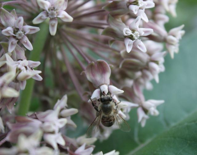 closeup of a honeybee on common milkweed