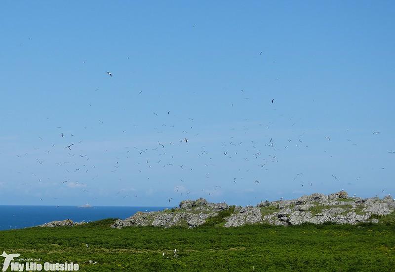 P1140940 - Gulls, Skomer Island