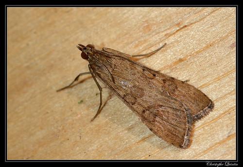 Pyrale de la luzerne (Nomophila noctuella)