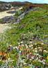 Wildflowers and Sand, Pescadero Marsh Natural Preserve,  Pescadero State Beach,