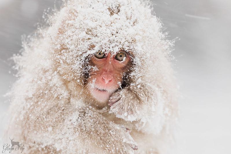Snow monkeys / Sneeuw apen / Singes des neiges