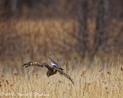 Harrier, Hunting, Sequence 10