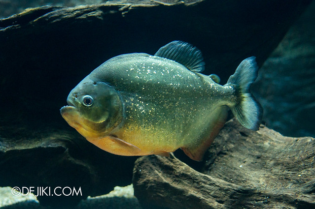 River Safari - Red-bellied Piranha