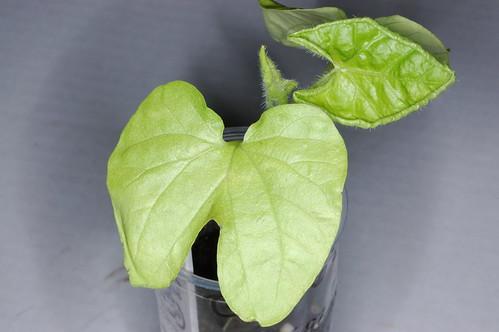 Ipomoea nil Q0962 Plant 3 by Gerris2
