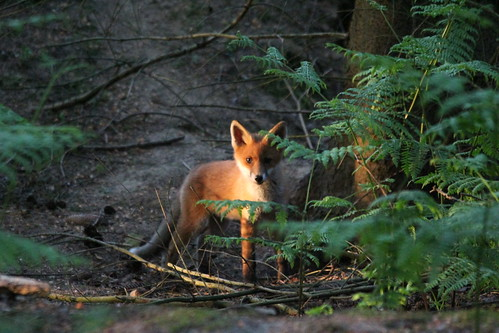 fox cub in late evening sun