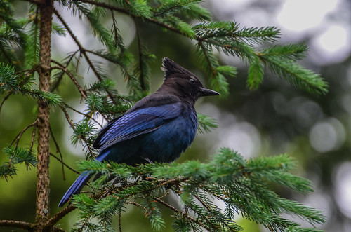 <p><i>Cyanocitta stelleri</i>, Corvidae<br /> Hicks Lake, British Columbia, Canada<br /> Nikon D5100, 70-300 mm f/4.5-5.6<br /> June 8, 2013</p>