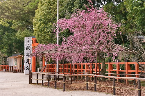 【写真】2013 桜 : 上賀茂神社/2020-09-09/IMGP9528