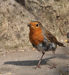 animal, robin, european robin, nature, fauna, emberizidae, beak, bird, wildlife,