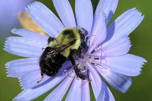 IMG_0533_Bee_on_Chicory