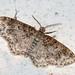 Unadorned Carpet Moth - Photo (c) Andree Reno Sanborn, all rights reserved