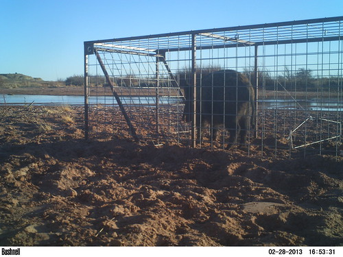A feral hog in a box trap alongside the Pecos River in DeBaca County, New Mexico