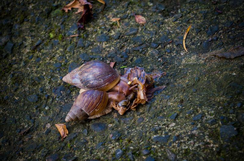 非洲大蝸牛啃食同類屍體?