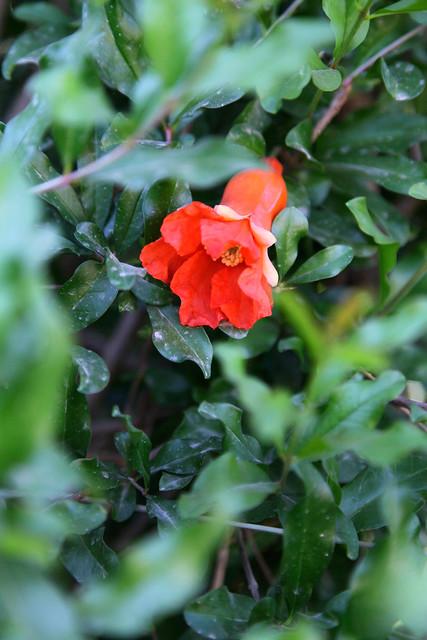 Pomegranate flower in Shanshan (Piqan) County ルクチュン、ザクロの花