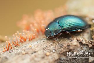 Darkling Beetle (Androsus corporaali) - DSC_1680