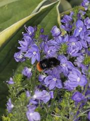 Steinhummel (Hymenoptera: Bombus lapidarius)