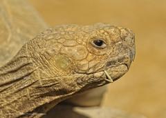 Tortoise Closeup