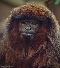 Red Titi Monkey (EXPLORE)