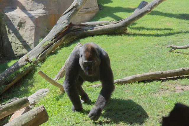 Bioparc Fuengirola Gorilla