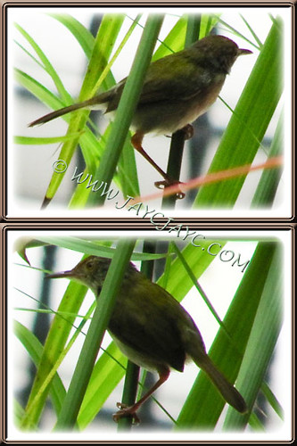 Sunbird, seen sheltering under Cyperus involucratus (Umbrella Plant), Oct 24 2013