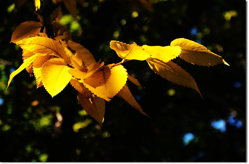 Elm(榆樹) in Fall, Chautauqua, Boulder 2