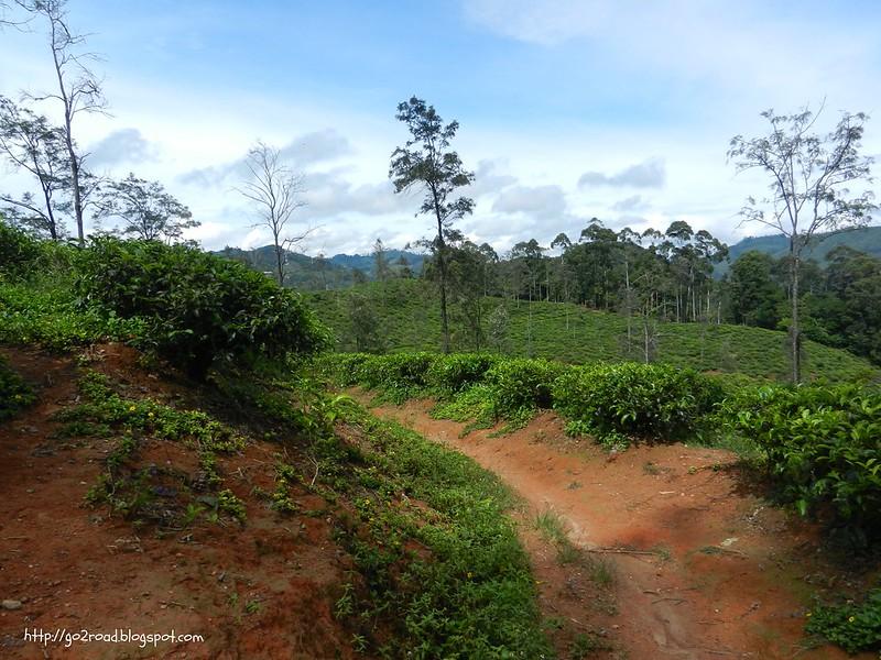 Шри Ланка, чайные плантации