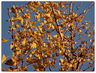 """Ginkgo trees are prized for their Autumn foliage."""