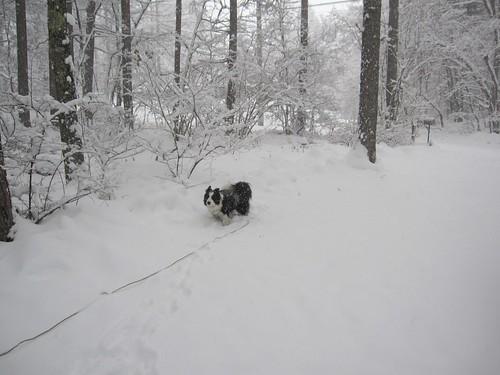 ②雪まみれのランディ 2013.12.20 by Poran111