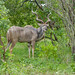 Greater Kudu - Photo (c) Bernard DUPONT, some rights reserved (CC BY-NC-SA)