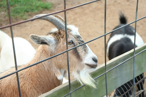 Petting Farm at Clark's Elioak Farm