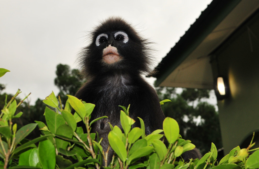 Dusky Leaf Monkey/ spectacled langur monkey