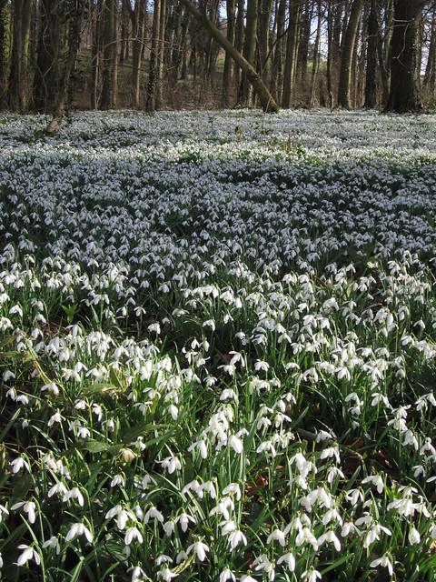 snowdrop walk Walsingham Feb 2014 (23)