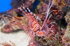 coral reef, animal, coral, fish, coral reef fish, organism, marine biology, macro photography, fauna, close-up, lionfish, scorpionfish, underwater, reef,