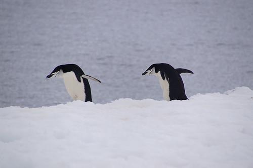 160 Wandeling Halfmoon Island - kinbandpinguins