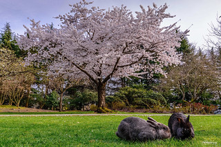 Blossoms and Rabbits