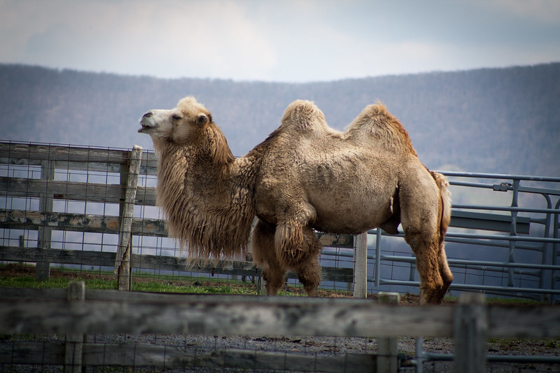 camelsthree