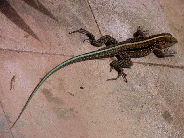 lizard-on-the-veranda